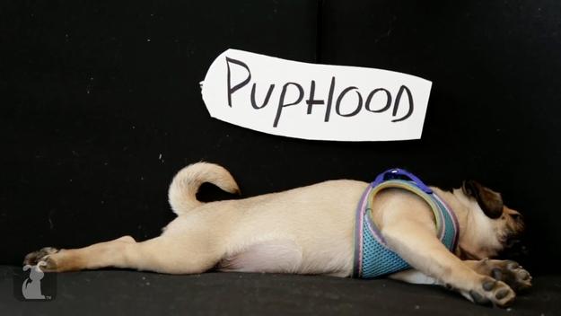 puphood