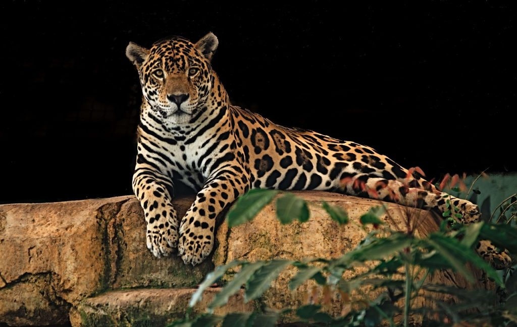 jaguar-belize