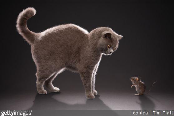 conseils-cohabitation-chat-rongeur-souris-rat