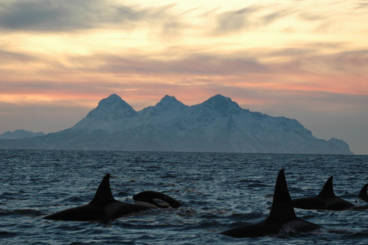 orques iles lofoten Flakstadøy