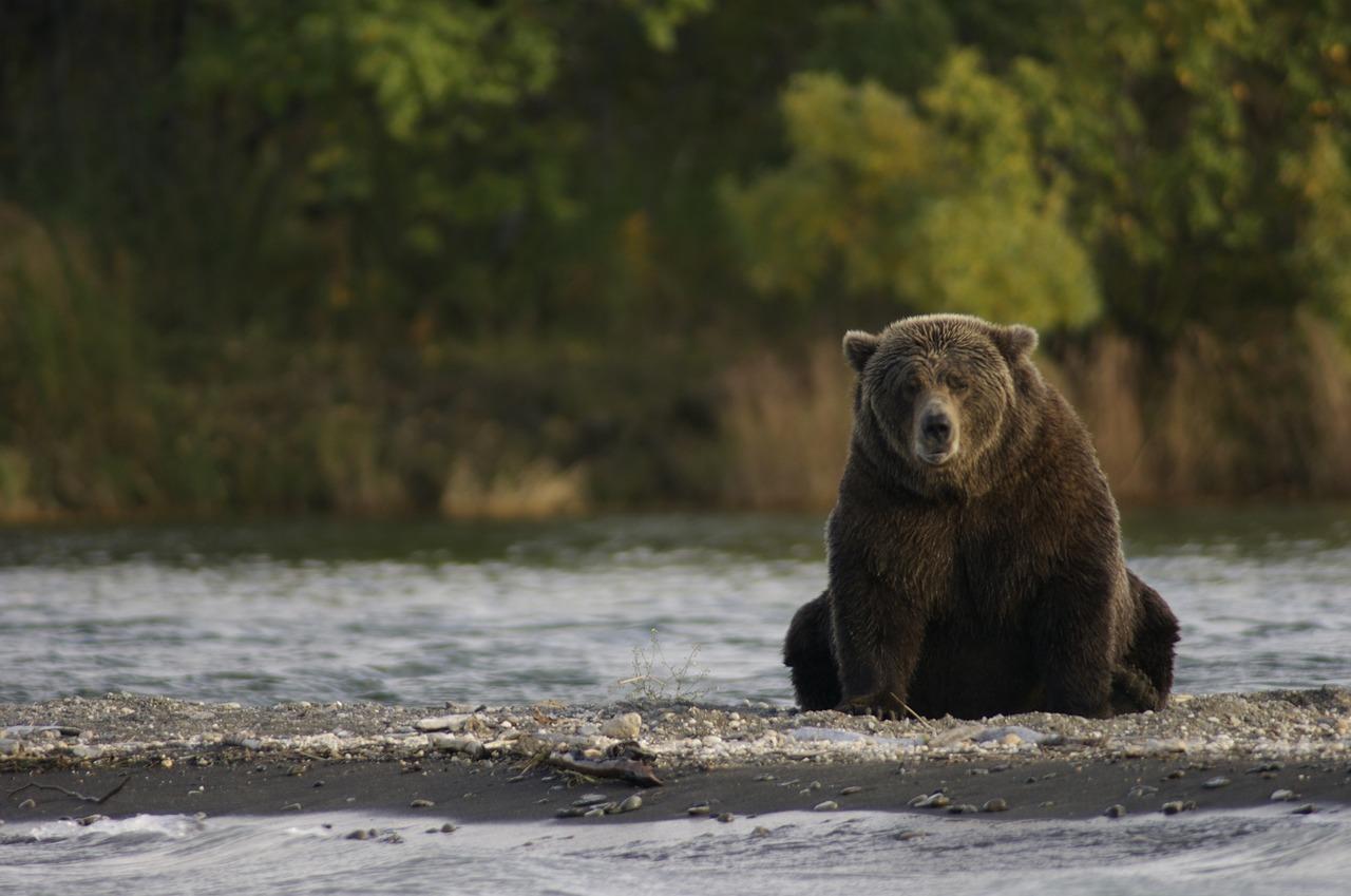 ours noir alaska katmai